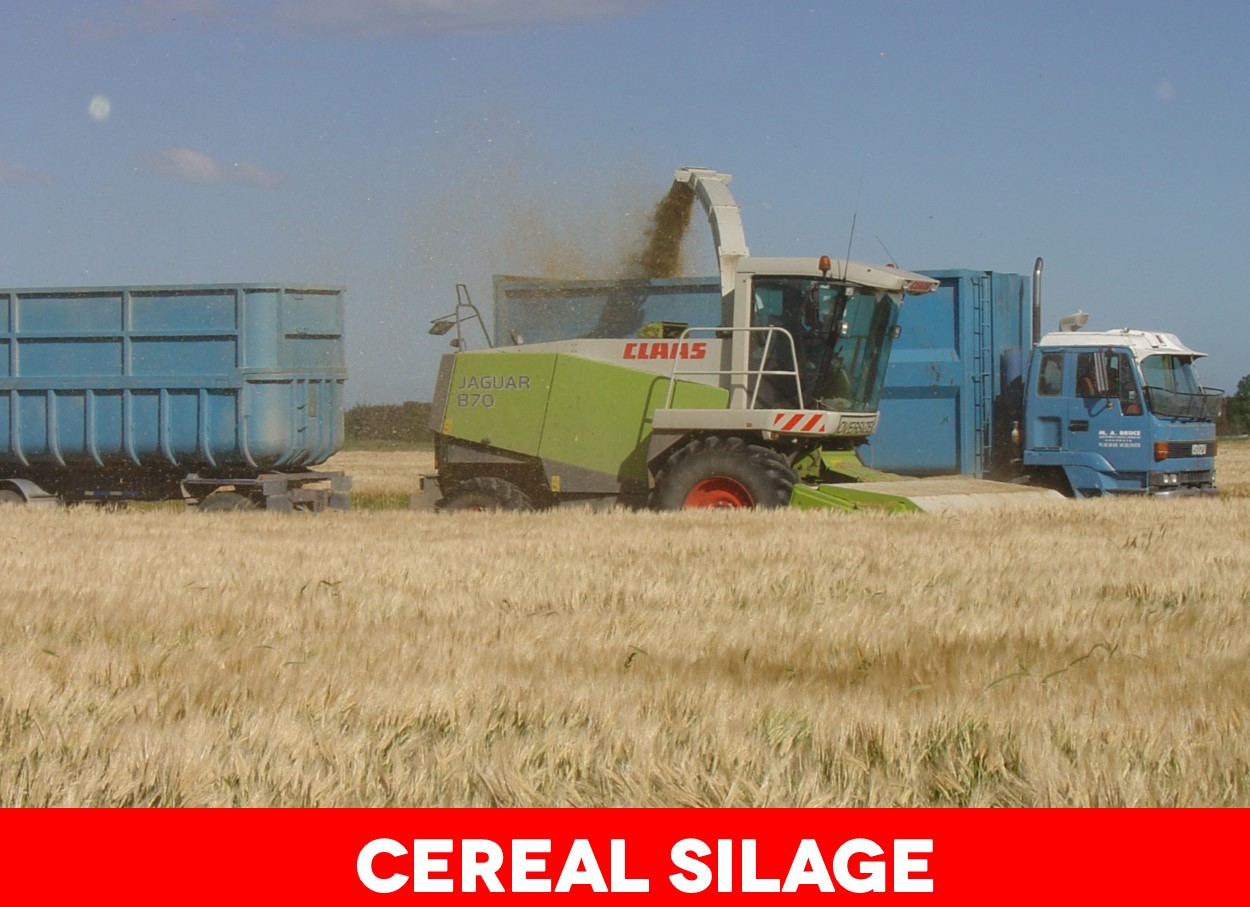 Cereal silage