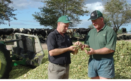 Using maize silage as an insurance policy against the weather